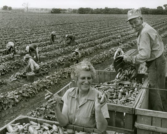 Migrant workers harvesting cucumbers for the Heinz Company near Muscatine, Ia., in July 1959.