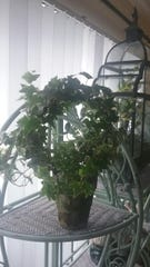 Variegated ivy with long branches was perfect to take cuttings to root in water.