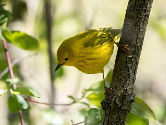 The yellow warbler is one of the most popular birds seen during the annual Biggest Week in American Birding, which has been canceled this year due to organizers' concerns about large crowds during the novel coronavirus pandemic.