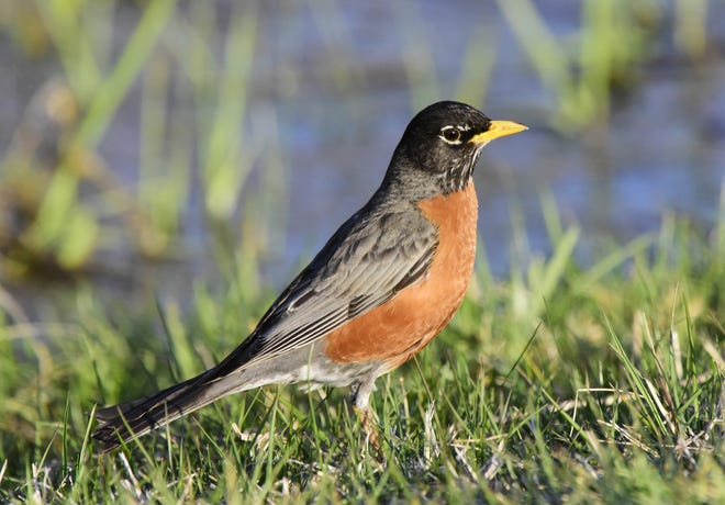 The Black Swamp Bird Observatory announced the cancellation of its annual Biggest Week in American Birding Tuesday, due to coronavirus concerns. The annual event is one of the most popular birding gatherings in the United States and draws thousands of visitors to Northwest Ohio each year.