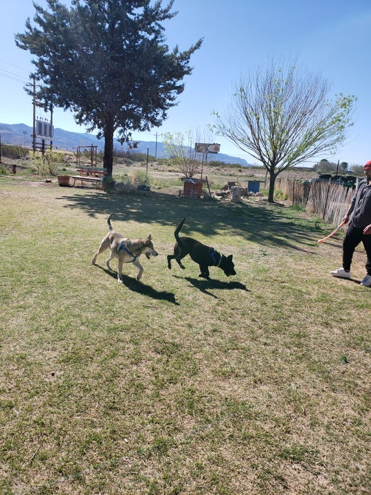 Lady and Looie, two bonded lab-shepherds together since birth, play together at Animal Village NM. Courtesy photo.