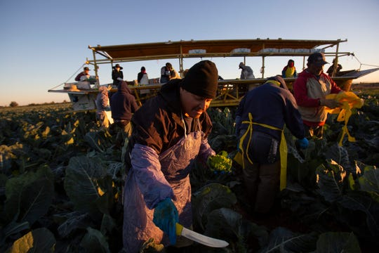 Silverio Alvarado harvest romanesco cauliflower in Imperial Valley. Of a group of 29 farmers 22 had crossed from Mexico in the early hours of the morning to attend to the harvest. Landowners are rushing to harvest their product as they fear a COVID-19 contingency could affect their harvest.