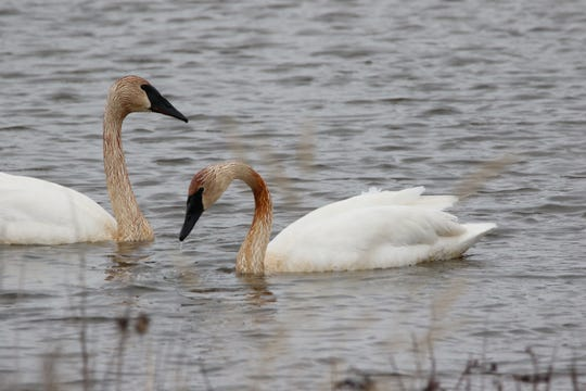 Trumpeter Swans look for vegetation at Magee Marsh.