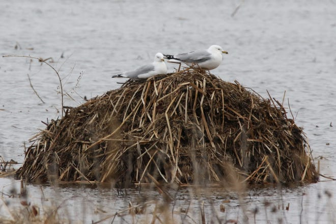 Seagulls rest on a muskrat lodge at Magee Marsh, which was closed to the public this week due to the public health concerns caused by the coronavirus.