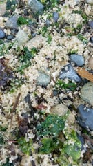 Herring eggs can be seen on a North Kitsap shoreline.