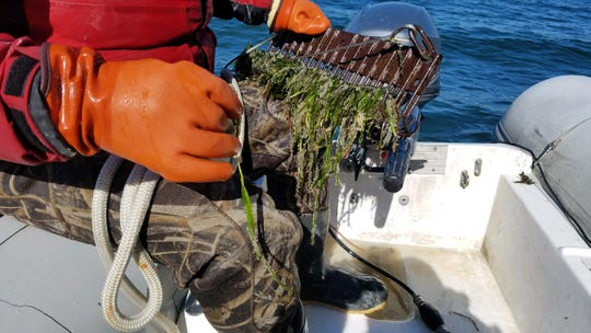 Herring eggs can be seen clinging to blades of vegetation during a population survey.