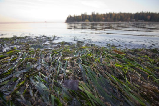 Herring eggs can be seen clinging to blades of eelgrass along the shoreline at Old Man House Park in Suquamish.