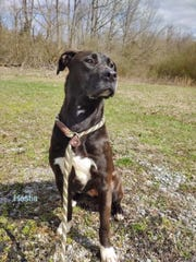 Hestia is in foster care looking for a forever home. Contact Cheatham County Animal Control for details.