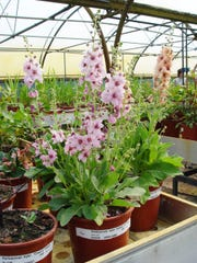 Holland plant breeders are creating outstanding garden perennials with mullein hybrids.