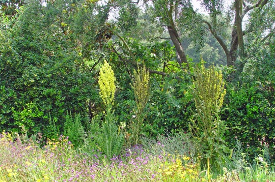 Robust great mullein in its second-year bloom showing high variation in foliage.