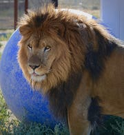 A lion at the Safe Haven Wildlife Sanctuary in Imlay, Nev. Sanctuary operators are worried about an increase in animals' food costs because a surge in meat-buying due to COVID-19 virus pandemic soaked up supply that's typically donated to the sanctuary.