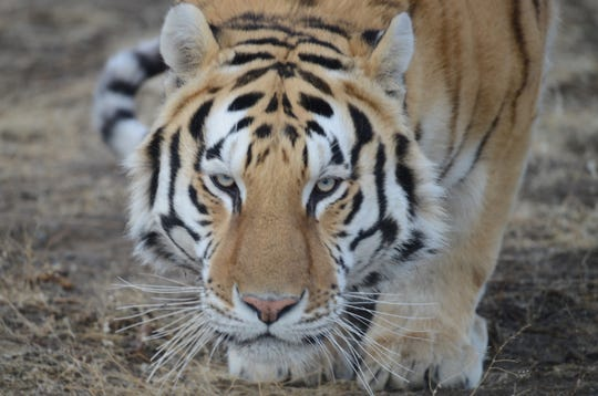 A tiger at the Safe Haven Wildlife Sanctuary in Imlay, Nev. Sanctuary operators are worried about food costs for animals going up because the COVID19 virus pandemic has resulted in people buying up meat that stores would have donated.