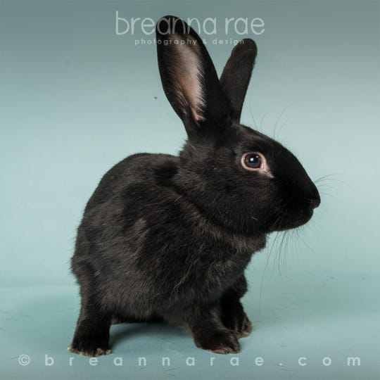 Buck the rabbit was one of several animals who found foster homes as the Sheboygan County Humane Society hurried to place animals during the coronavirus pandemic.