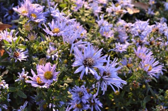 """Native plant """"Raydon's favorite"""" holds blooms into November."""