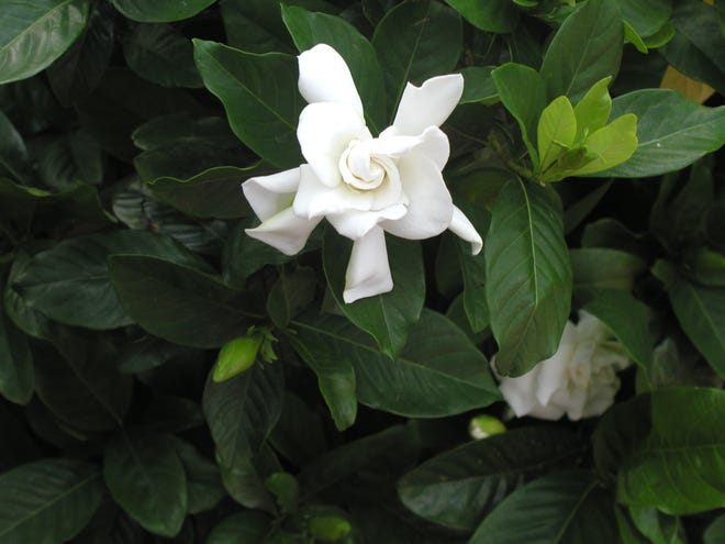 Spend time in your yard during April planting shrubs like this gardenia.