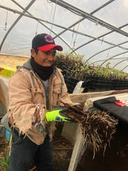 Dionicio Lopez Dias helps prepare Syrah vines in a green house to be planted in the spring at William Heritage Winery.