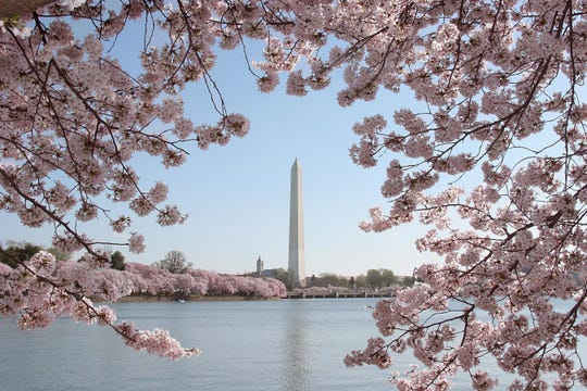 The Washington Monument is seen amid blooming cherry trees.