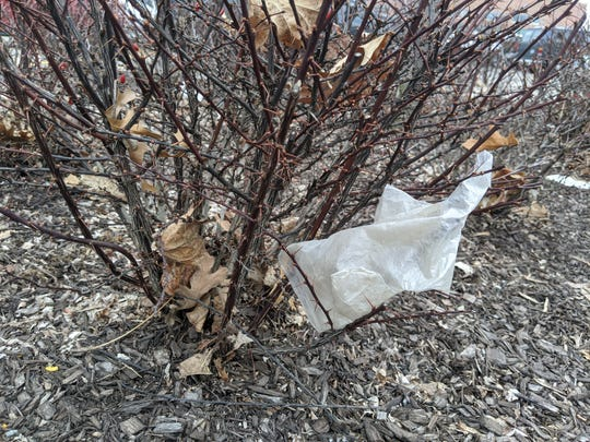 A discarded rubber glove, apparently moved by the wind, is snagged in a shrub near the parking lot of the Kroger supermarket on Union Lake Road in Commerce Township in this March 26, 2020 photo.