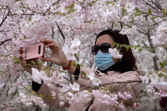 A woman wearing a mask takes photos of cherry blossoms at the Yuyuantan Park in Beijing on Thursday. While many of the city's world-famous tourist sites, including the sprawling Forbidden City ancient palace complex, remain closed due to the coronavirus outbreak, spring weather and budding cherry blossoms are coaxing outdoors citizens who have been largely confined to home for the last two months.