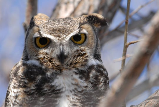 Although not a predator that hunters typically think of, great horned owls prey on turkeys.