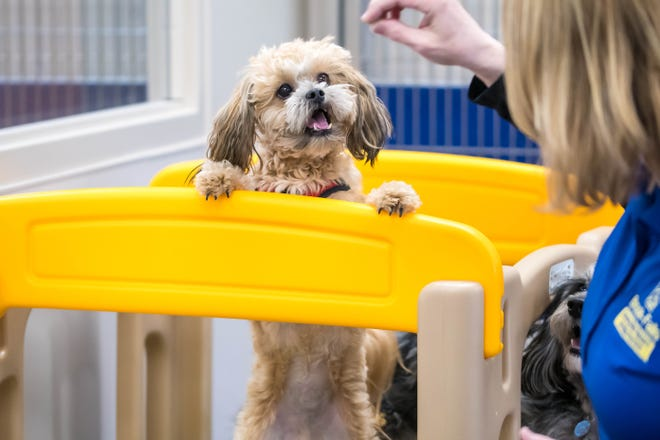 A dog plays with a worker at Brook-Falls Pet Resort & Doggy Day Care. The company is offering five free days of doggy day care for health care workers and first responders in light of the COVID-19 pandemic.