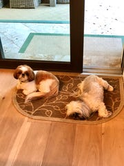 Cody and Oliver are just fine with having their human companion, Annette Vulpis, at home all the time.