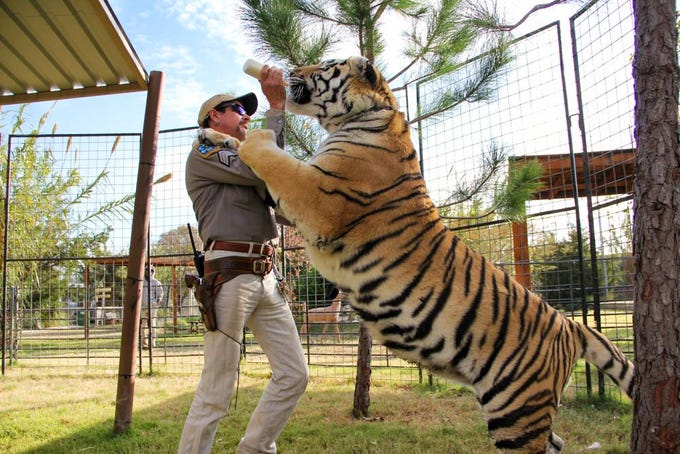 Joe Exotic, for whom the Netflix documentary 'Tiger King' is named, feeds a tiger at his zoo.