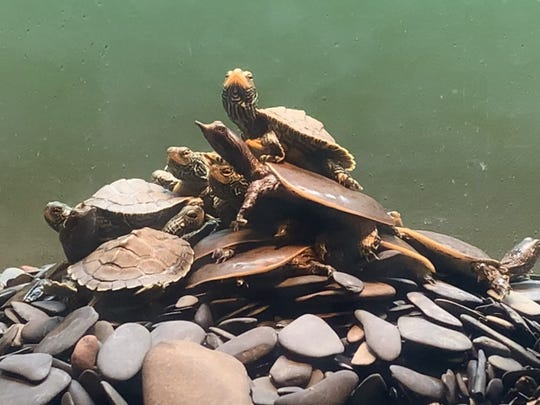"""Baby turtles basking at ECHO. These are some of the more than 70 species of creatures living at ECHO. The museum is offering many ways to interact with science programming virtually as a result of school closures and """"stay in place"""" orders related to the COVID-19 outbreak. March 27, 2020."""