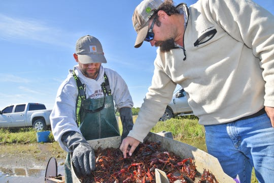 Crawfish producer Allen McLain, at right, inspects crawfish caught by Ethan Trahan, at left, in Vermilion Parish last year.