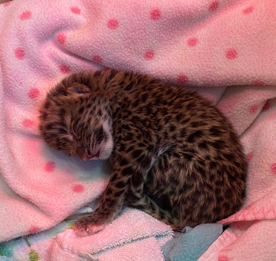 Nadya, an Amur Leopard cub, was born at the Turtle Back Zoo on Friday, March 13.