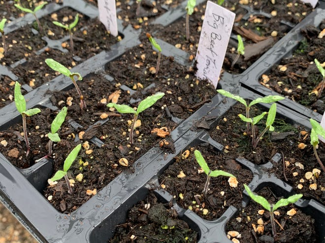 Tomato seedlings have just sprouted at the NMSU Agricultural Science Center at Los Lunas.