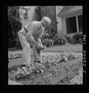 An Oswego, New York resident works on the Victory Garden he planted in his front yard on a Sunday in June of 1943. Victory Gardens helped many neighborhoods make ends meet during the tight rationing of war years.