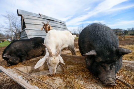 Pigs and goats at Panther Creek Rescue on Thursday. Panther Creek Rescue is a farm animal rescue that takes in and rehomes anything from horses and pigs to goats and chickens.