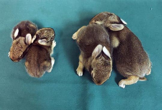 Don't try to raise wild babies yourself. These cottontail bunnies are all same age. The babies on the right were brought to St. Francis Wildlife as soon as they were found; the babies on the left were not.