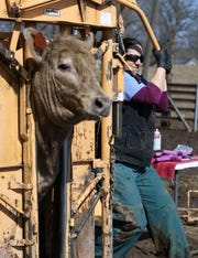 Alana McNutt, a veterinarian at Tipton Veterinary Services, closes a cattle chute before vaccinating cattle on a farm in rural Lisbon, Iowa. According to reports, there is a shortage of mixed animal and farm animal veterinarians across the country because of the unpredictable hours and the need to live in rural areas.