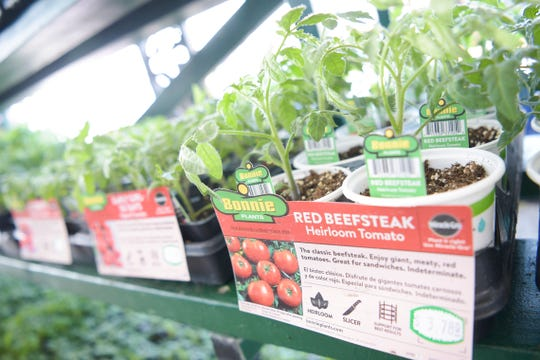 Heirloom tomato plants grow at Mayo Garden Center's Bearden location in Knoxville, Tennessee on Friday, March 27, 2020.