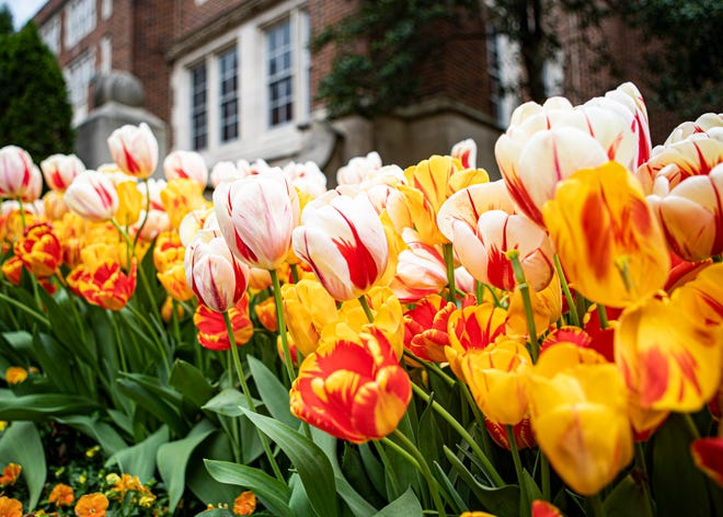 The Dixon Gallery and Gardens planted more than 100,000  and they're all in bloom in Memphis, Tenn., on Saturday, March 28, 2020.