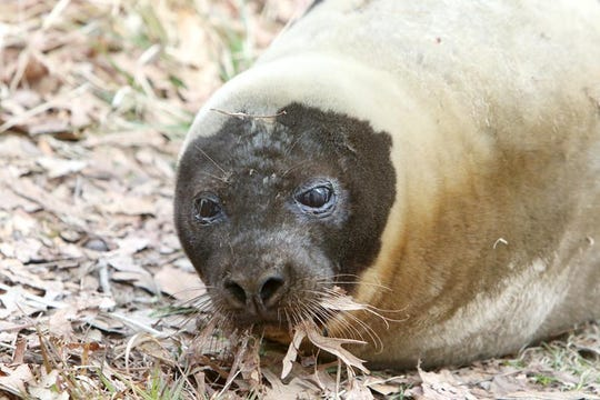 An adult male harp seal became stranded at a private pond in Shrewsbury. The seal was rescued by the Marine Mammal Stranding Center in Brigatine, where it is currently being cared for.