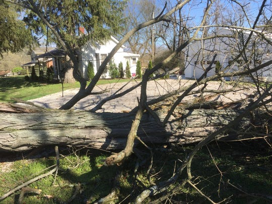 Many trees in Henderson and Henderson County -- such as this old Locust tree in the Graham Hill area -- fell victim to Saturday evening's raging spring storm.