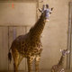 The newest giraffe at the Santa Barbara Zoo, Twiga (right) was born Friday to mother Adia (left).