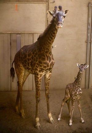 The newest giraffe at the Santa Barbara Zoo, Twiga (right) was born Friday to mother Adia (left).