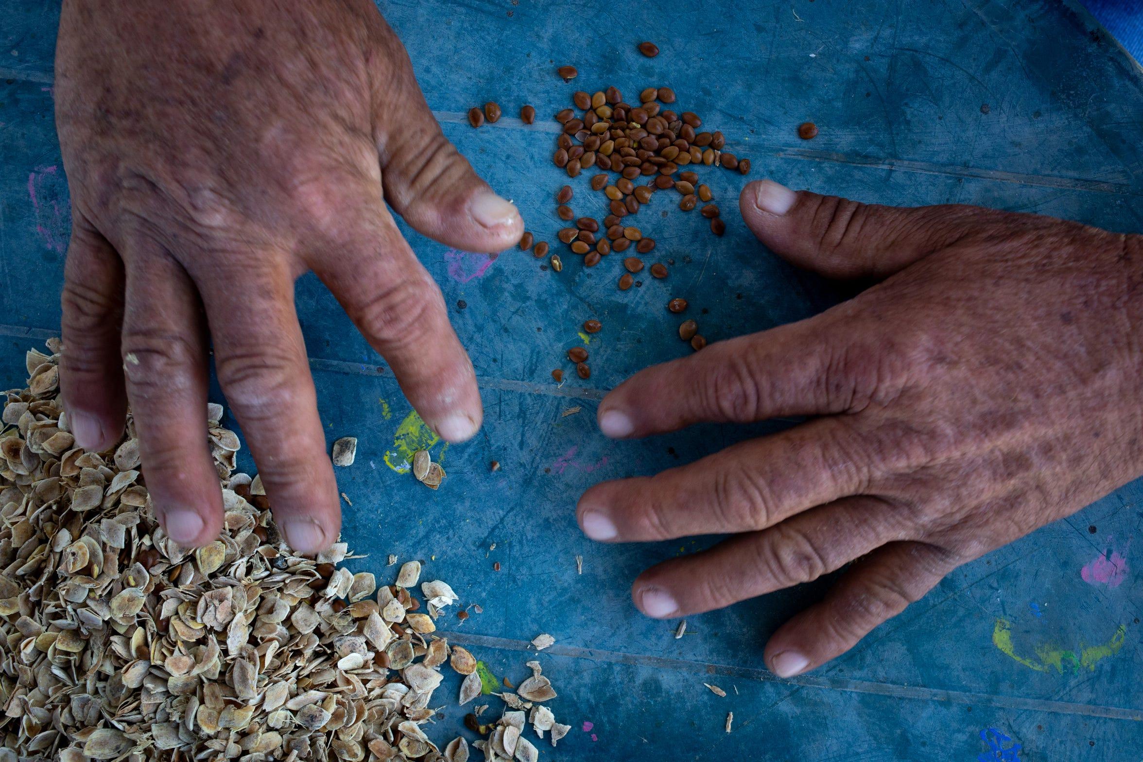 Las semillas de mezquite se cosechan en el área de restauración de Colonia Miguel Alemán en Baja California, México.