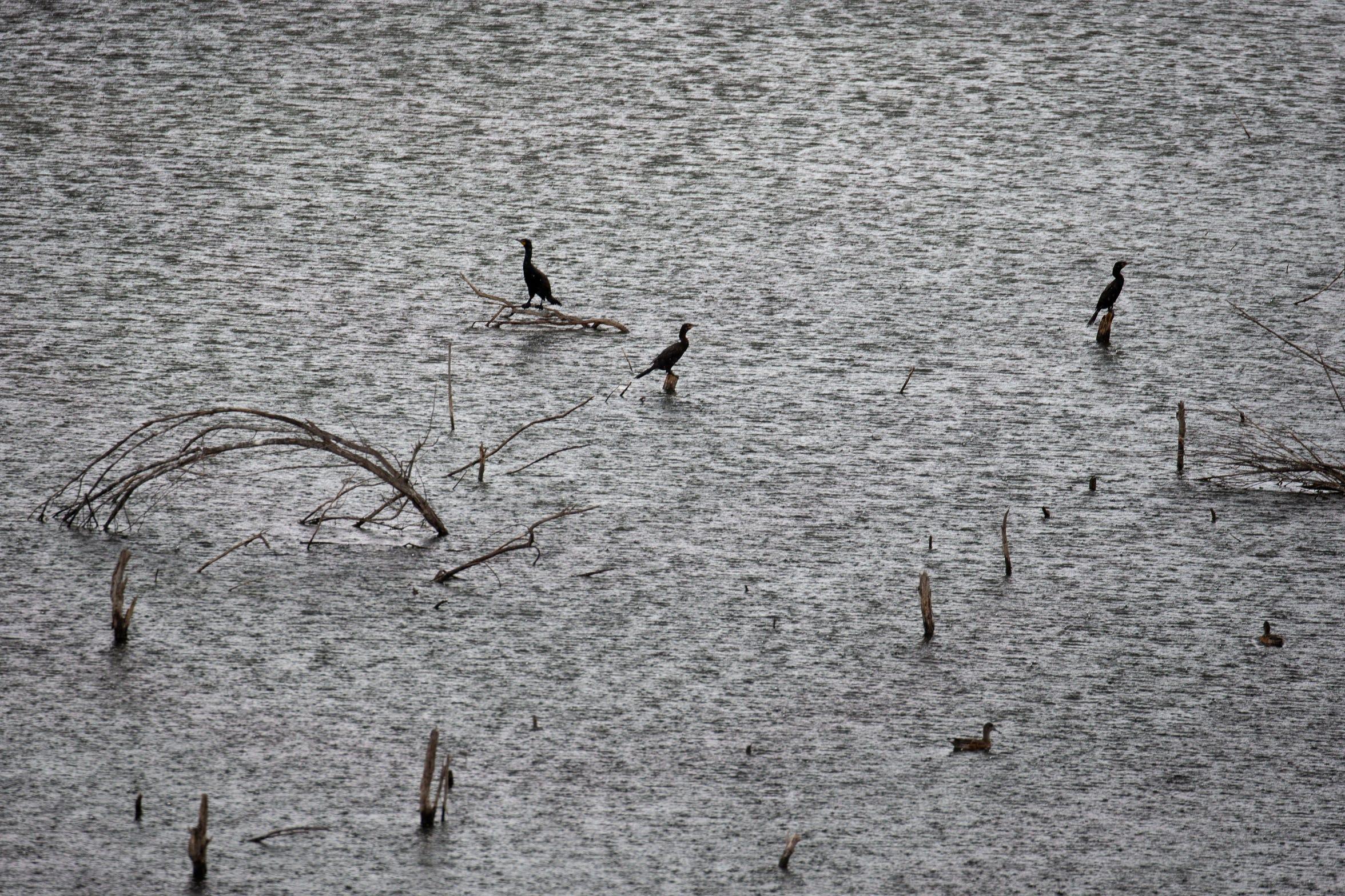 Los cormoranes posan en las ramas sumergidas en el Delta del Río Colorado cerca del área de restauración de Laguna Grande en Baja California, México.