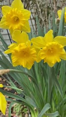 """Cumberland County Library hosting a daily photo challenge via its Facebook page. """"Let's get outside! Take a picture of a flower blooming, an insect, or something yellow,"""" is the March 30 challenge."""