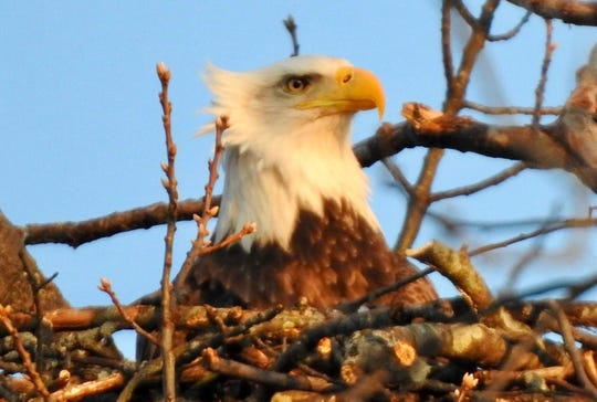 A bald eagle at Goguac Lake in Battle Creek, Mich. on January 23, 2020.