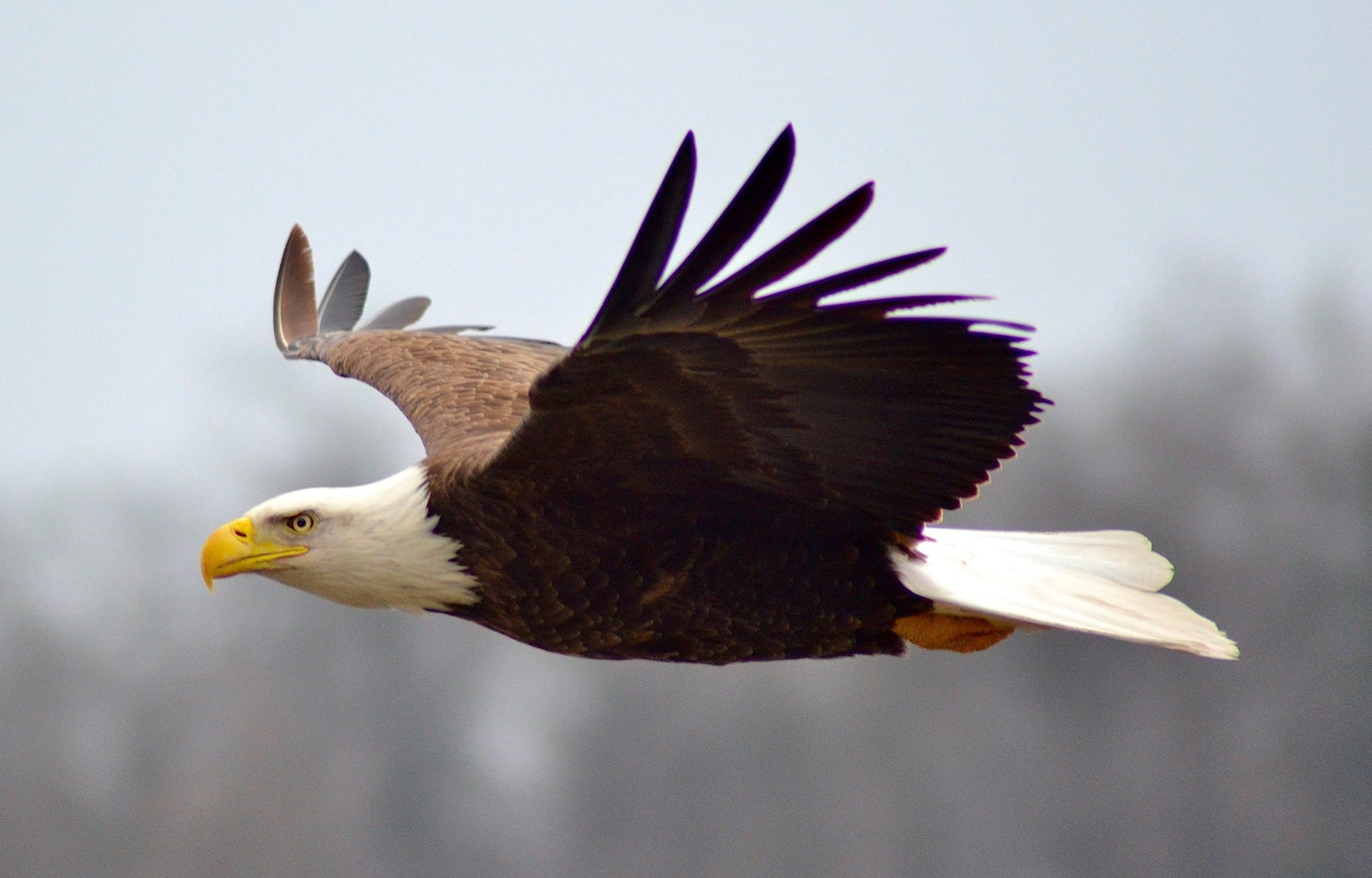 Bald Eagles Of Goguac Lake Represent Species Resurgence In Michigan