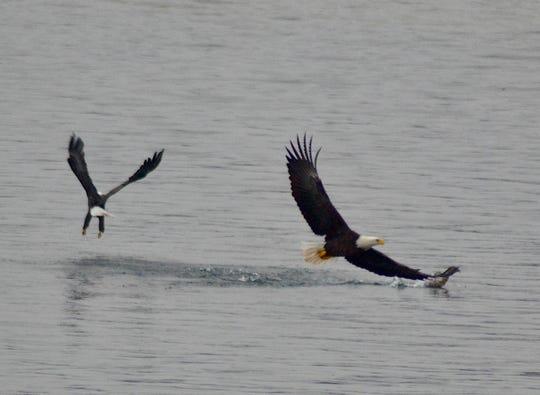 Two bald eagles hunt on Goguac Lake in Battle Creek, Mich. on November 24, 2019.