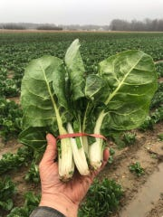 Kevin Flaim of Flaim Farms in Vineland is harvesting Swiss Chard. His produce will be available through Tortilla Press in Collingswood.