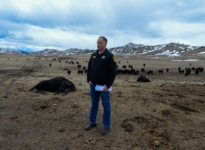 Cascade County seized 230 starving cows west of Cascade March 30. The Cascade County Attorney's Office said Thursday it had reached a plea agreement with the owner, George J. Savoy.