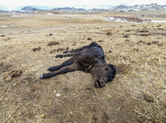The carcass of dead calf, which was born this year, lies in a pasture on Mission Road  west of Cascade, Tuesday March 31, 2020.  The Cascade County Sheriff's Office and county officials swiftly enacted plans to feed a starving herd of roughly 230 cows and calves on Tuesday after the herd was seized from their owner.